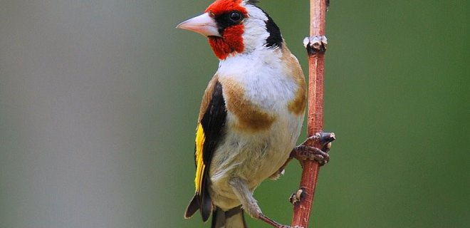 Saka Kuşu Beslenmesi Nasıl Olmalı?
