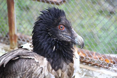 sakallı akbaba yırtıcı kuş
