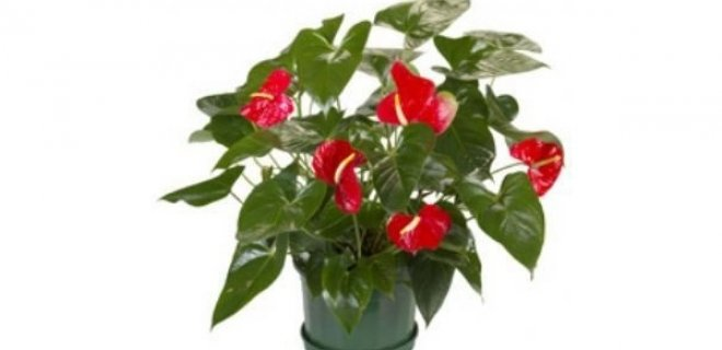 saksı çiçek