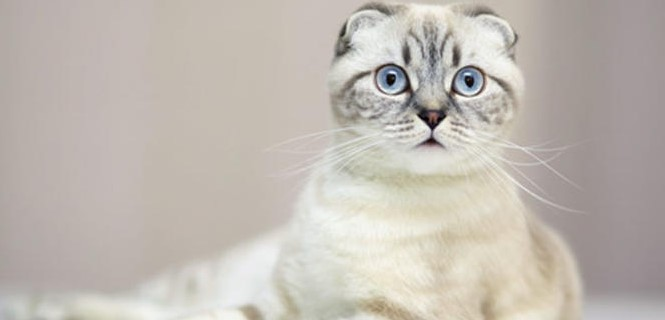 scottish-fold--001.jpg