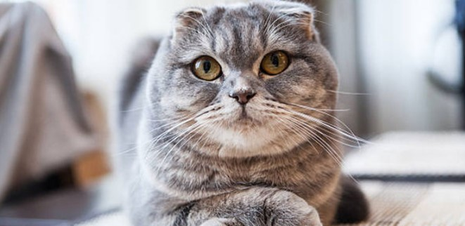 scottish-fold--002.jpg