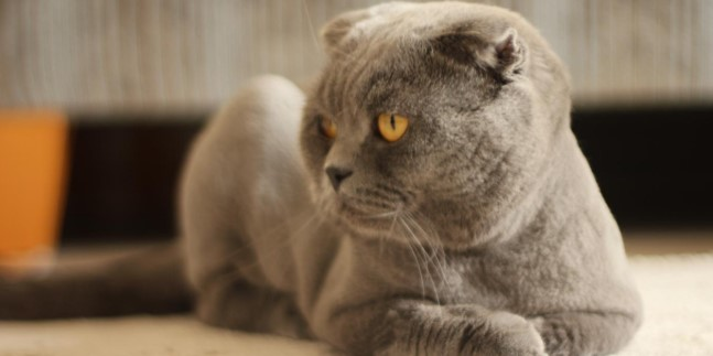 scottish-fold--007.jpg