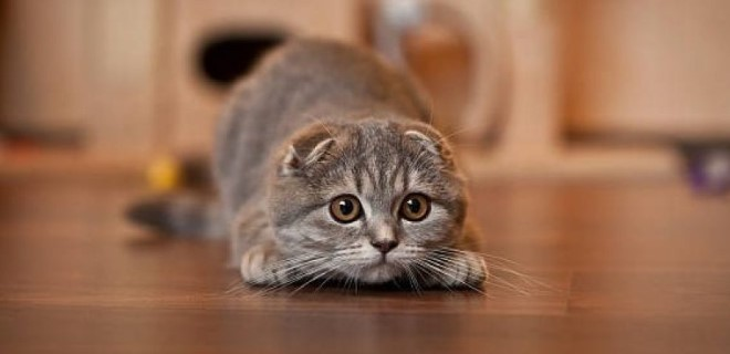 scottish-fold--008.jpg
