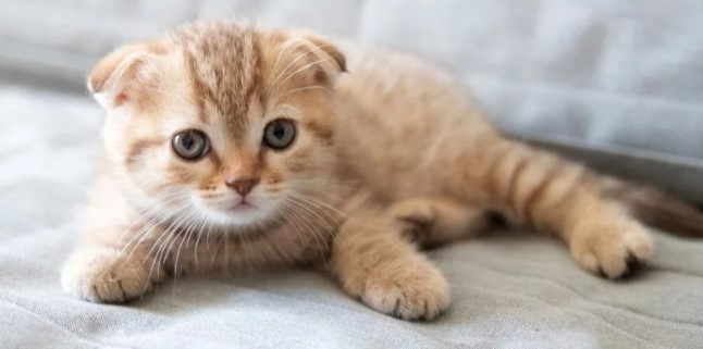 scottish-fold-.jpg