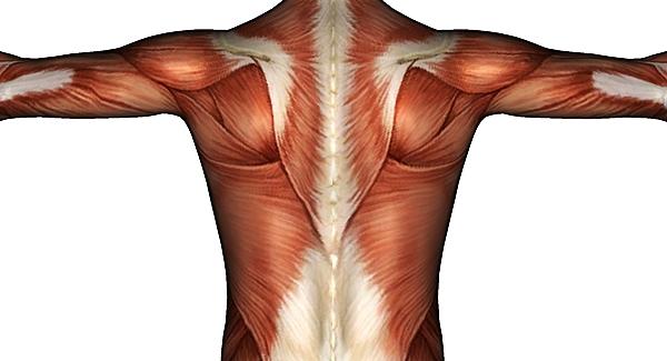 sirt-kaslari-anatomi.jpg