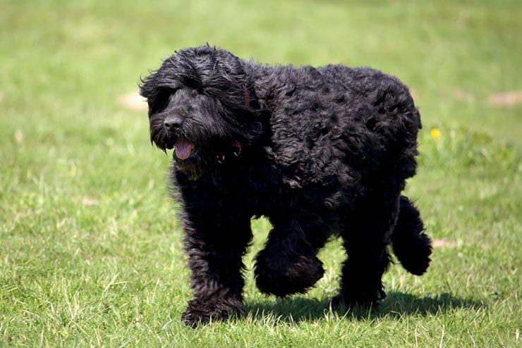 siyah-terrier.jpg