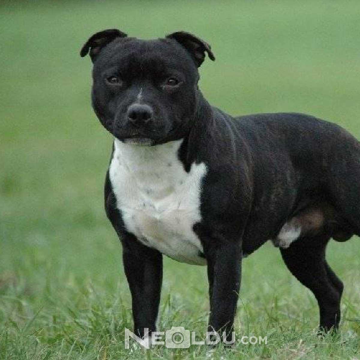 Staffordshire Bull Terrier Köpek Cinsi