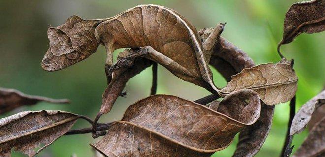 yaprak-kuyruklu-gecko.jpg
