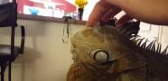 Evcil İguana Şaşırttı