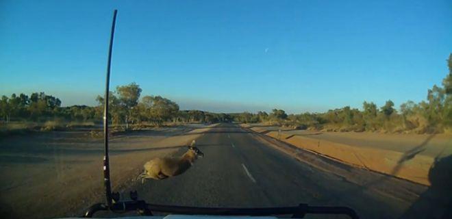Kanguru Yola Atladı
